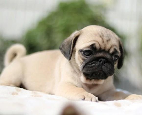 北京哪里出售纯种巴哥犬幼犬 宠物狗巴哥石家庄巴哥犬多少钱一只