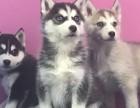 上海狗狗之家长期出售高品质 哈士奇 宠物狗品种齐全 售后无忧