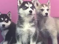 长沙狗狗之家长期出售高品质 哈士奇 宠物狗品种齐全 售后无忧