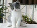 济南哪里出售纯种英国蓝白短毛猫纯种英国蓝白短毛猫多少钱一只