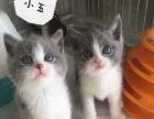 英短蓝白,蓝猫,找新家,找个好人家。喜欢的看看哦