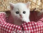 自家繁殖高品质超白银点血渐层英短猫宝宝