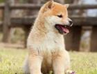 CKU认证犬舍 柴犬 保障健康 终生售后