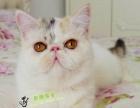 猫舍出售加菲猫幼猫活体宠物猫家养包纯种健康疫苗已做