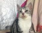 家养的美国短毛猫5个月多了找姐姐呀