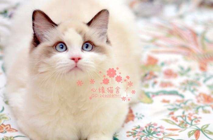 长春哪里卖布偶猫 布偶猫价格 布偶猫哪里有卖