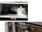 家养纯加菲猫(赛级猫血统)