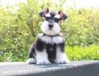 自家大狗生的一窝雪纳瑞可以来家里看大狗品相