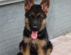 德国牧羊犬幼犬 保健康价格美丽 亲民价