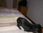 黑色小鹿犬低价出售。急急急