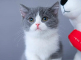 福建泉州双血统蓝白幼猫猫舍特惠