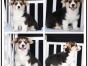 本地犬舍出售纯种柯基犬 双血统带证书