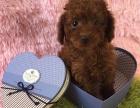 出售纯种贵宾泰迪幼犬宠物狗狗棕红色玩具体泰迪幼犬狗狗