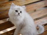 金吉拉貓寵物貓幼崽貓咪活體純白幼貓長毛波斯系