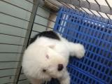 佛山禅城哪里有卖宠物狗正规狗场,古代牧羊犬图片价格 包健康