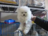 兰州 犬舍繁殖出售博美犬 喜欢的朋友们不要错过哦