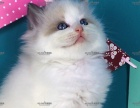 cfa猫舍,双色手套色布偶猫,终生售后,亲民价位!