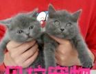 【贝拉宠物】全市最低出售加菲猫蓝猫暹罗猫金吉拉猫