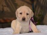 最佳伴侣犬拉布拉多 专业繁殖 品质保证实物拍摄