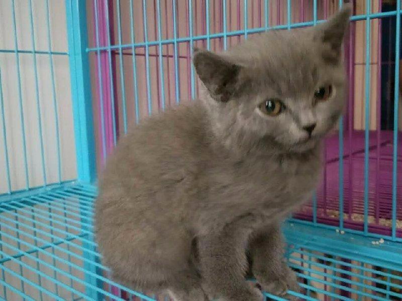 北京通保名犬出售北京宠物猫蓝猫多少钱保健康送货上门