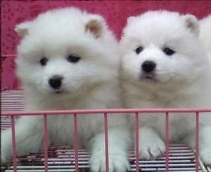 雪白漂亮的一窝萨摩耶幼犬出售,自家繁殖的,非常健康