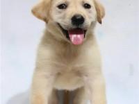 cku注册五星级犬舍 双血统拉布拉多犬可上门挑选