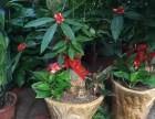 泉州公司租花万达公司绿植租摆长期花卉出租