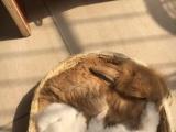 垂耳兔自家繁殖宠物兔
