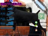 有没有卖带血统的杜宾犬要包健康包纯种的