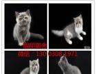 活体宠物纯种血统 红虑斑加菲 包子脸加菲猫