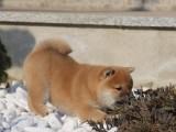 日系柴犬赤红色铁包金柴犬 带血统带证书 免费送上门