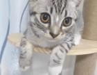 美短小奶猫,正宗的美短猫