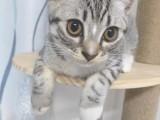 美短小貓,正宗的美短貓