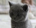 出售纯种 三个月蓝猫