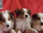 珠海哪里有卖喜乐蒂犬 珠海到哪里买喜乐蒂犬比较保障