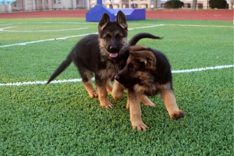 广东买德国牧羊犬必选 纯种健康 黑背弓背都有