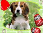 纯种比格幼犬~疫苗齐全~协议质保免费送货上门