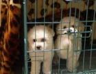 上海哪里可以免费宠物狗狗 自家比熊宝宝免费找人领养