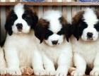 台州哪有圣伯纳犬卖 台州圣伯纳犬价格 台州圣伯纳犬多少钱
