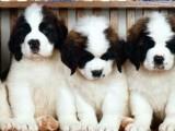 北京哪有圣伯纳犬卖 北京圣伯纳犬多少钱 北京圣伯纳犬图片