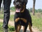 北京哪里有罗威纳幼犬卖 罗威纳幼犬多少钱一只