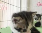 自家繁殖 英短幼猫 疫苗驱虫已做 性格活泼非常可爱