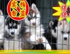 正规狗场繁殖、随时送货哈士奇犬、种公借配、可看狗父母