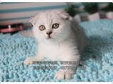 貓舍出售純種折耳自家繁殖-品質保證-健康純種