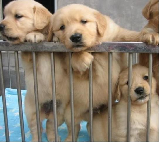500起出售金毛导盲犬忠诚可爱的金毛犬聪明伶俐金毛犬忠诚
