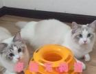 自家猫舍出售纯种布偶猫 蓝双 海豹布偶 可上门