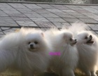 萬戶犬舍對外出售高品質白色博美