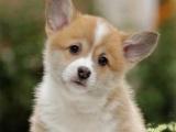出售纯种柯基犬幼犬一包纯种健康可送货一签活体协议
