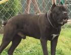 三个月的卡斯罗犬多少钱一只 卡斯罗犬价格
