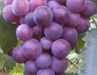 惠州最新葡萄园开摘啦 惠州葡萄园 惠州N条线路采摘葡萄